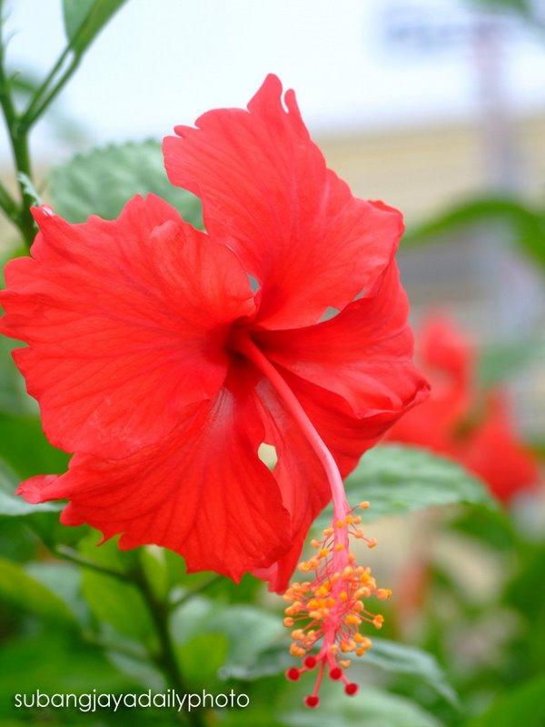 Download 7300 Gambar Bunga Raya Dan Rukun Negara Gratis Terbaru